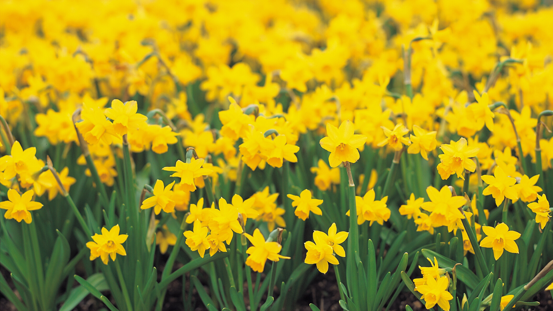 Daffodil Dash at Scissortail Park